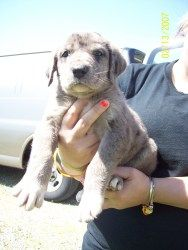 Adopt Benjamin On Great Dane Dogs Dogs Great Pyrenees