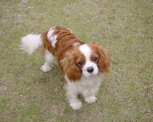 Cavalier By Becky King Charles Cavalier King Charles Spaniel Blenheim Cavalier King Charles Dog
