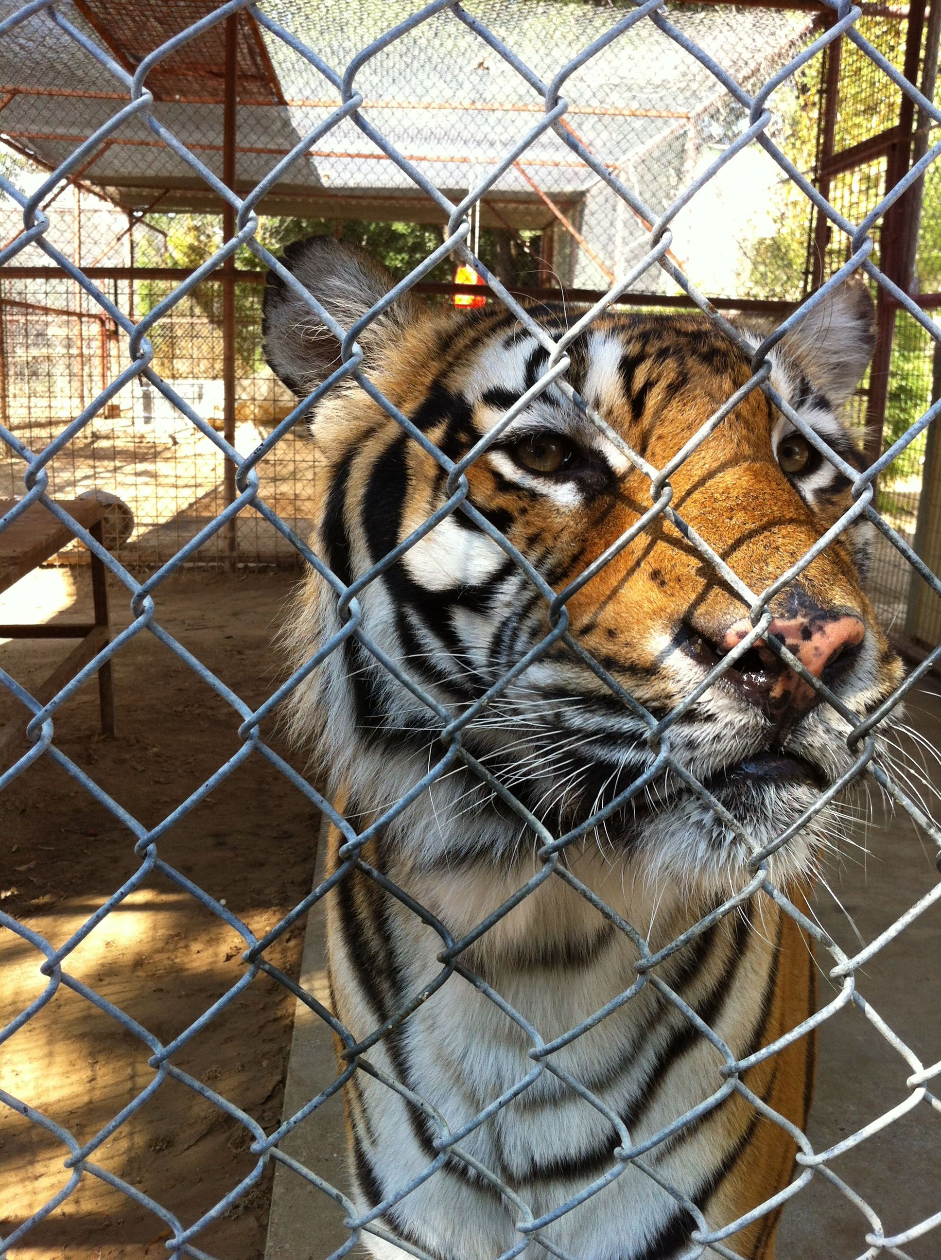 NTTA 's Judy G. snapped a picture of Elijah the tiger