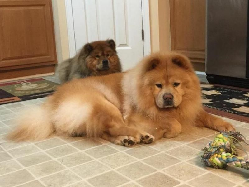 Adopt Biscuit On Cat Day Happy Dogs Chow Chow Dogs