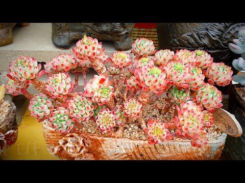 (ENG)다~ 내꺼내꺼~!! 집에 편히 앉아서 눈호강하세요~Korean Succulent Store Tour #3-3 (多肉植物)(たにくしょくぶつ) - YouTube