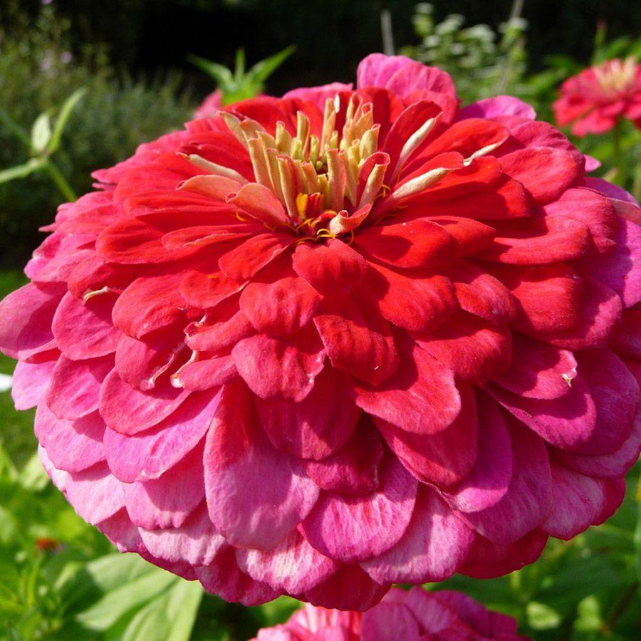 Zinnia Elegans Yoga Rose Double Dahlia Like Blooms On This