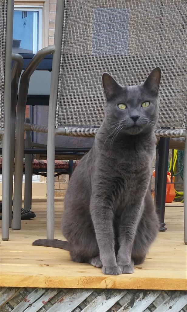Lost Cat Male Richmond Hill On Canada L4b Lost Cat Cats