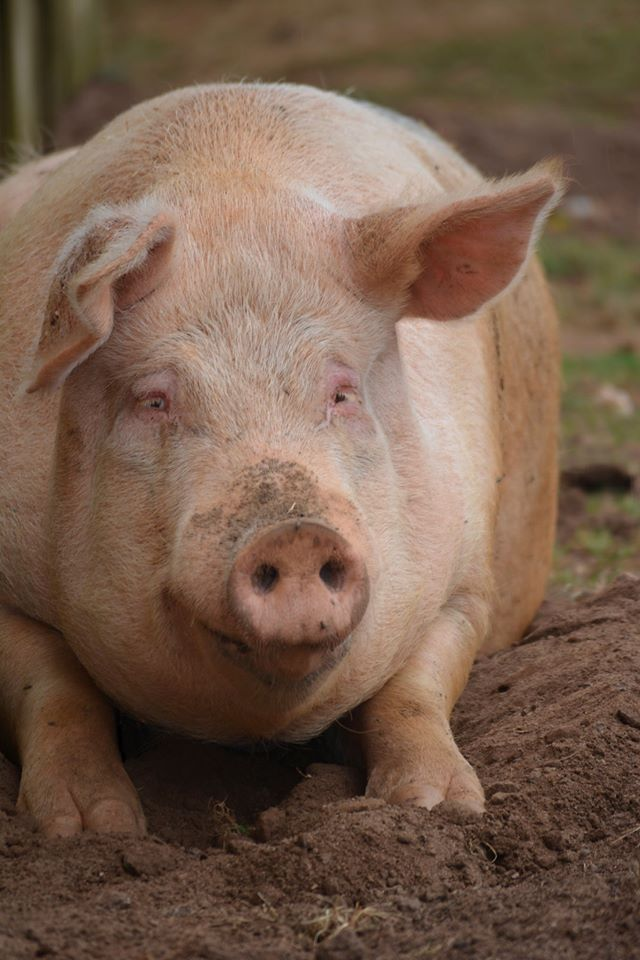 Babe Is A Large White Breed Pig That Was Won As A Prize At A