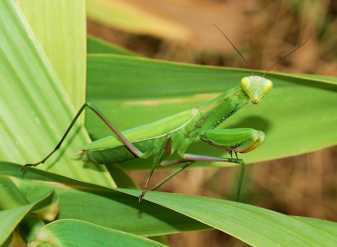 Mantis Religiosa Praying Mantis Seems To Be Saying Namaste Praying Mantis Orchid Mantis Animals