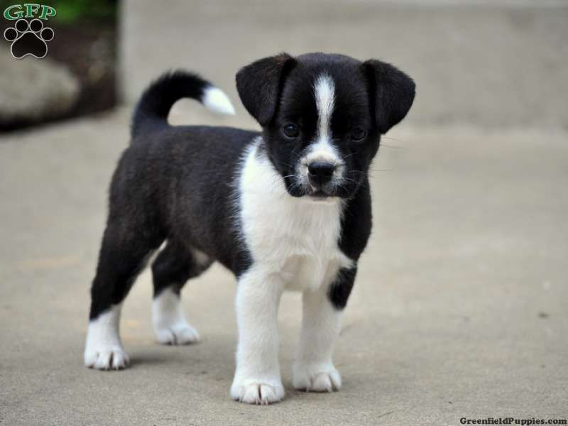 Border Jack Google Search Jack Terrier Puppies Jack Russell