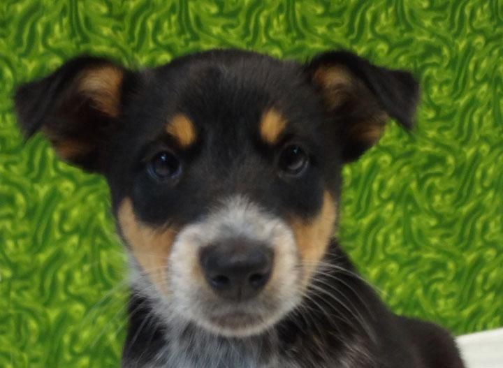 Adopt Omaha on Pets 3, Australian cattle dog, Pets