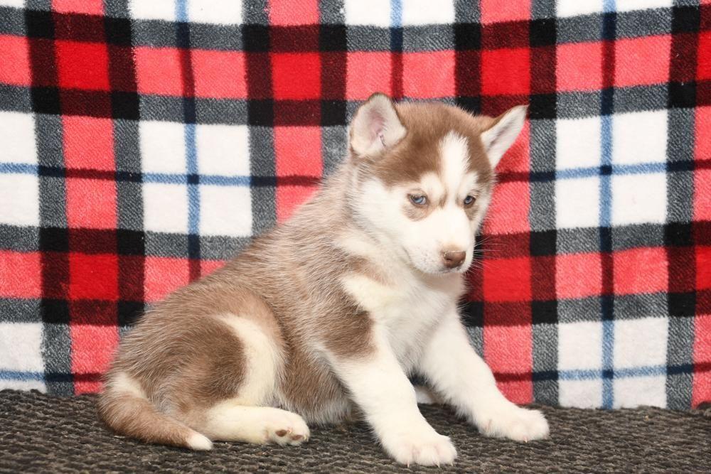 Betsy A Female Akc Siberian Husky Puppy For Sale In Bremen In
