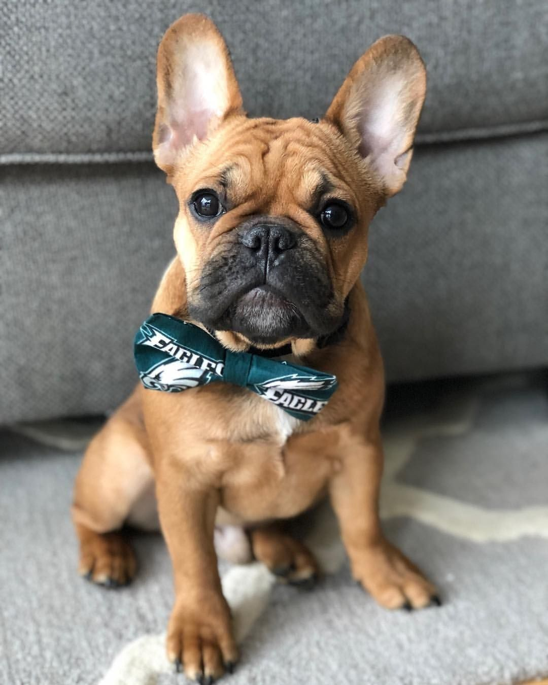 French Bulldog Oklahoma Craigslist - Pets Ideas