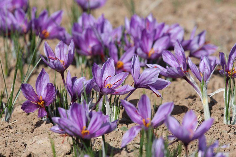 Saffron Crocus Plants | Crocus plants, Saffron flower, Plants
