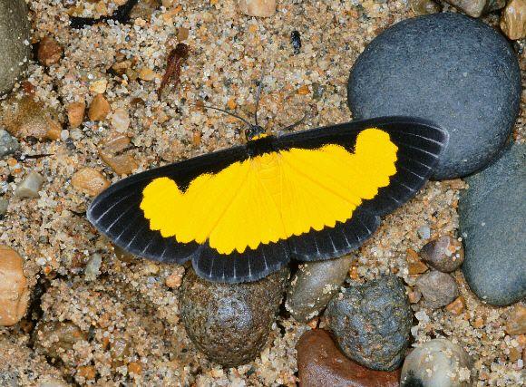 Moths of Amazonia - Xanthiris flaveolata  Saffron Playboy