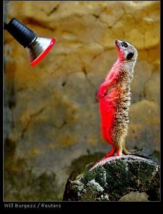 meerkat gets warm