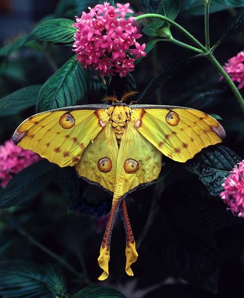 The ultimate elf accessory: a Madagascar Moon Moth barrette (still living and fluttering over the blossoms you're wearing in your hair).