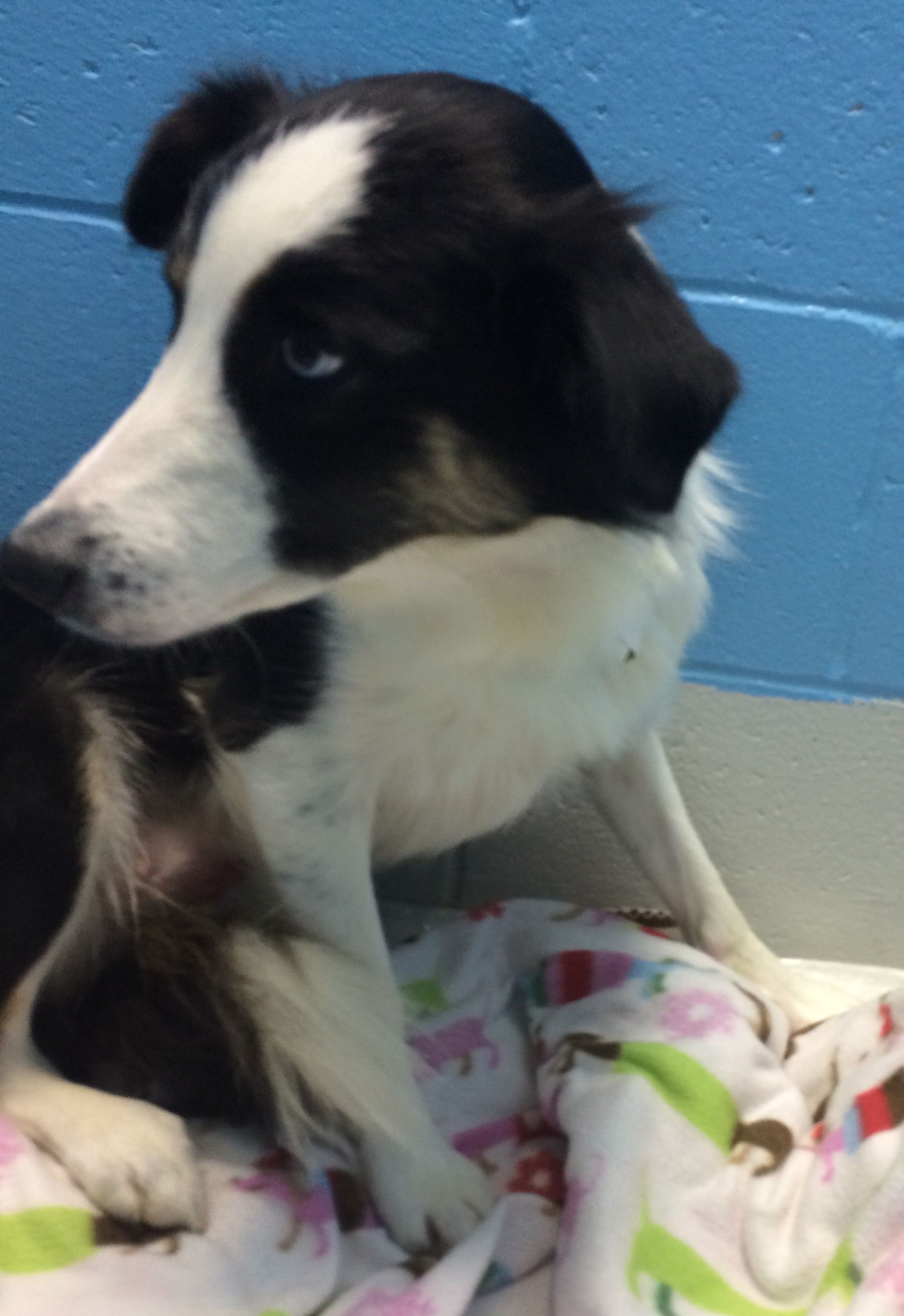 Border Collie dog for Adoption in Raytown, MO. ADN667554
