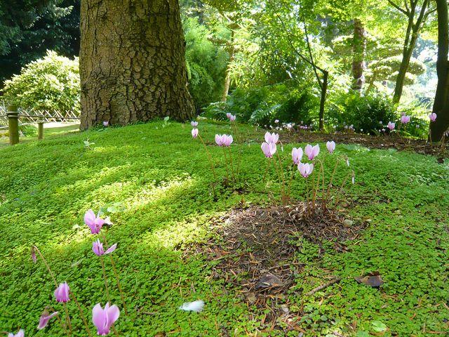 Remplacer le gazon les plantes couvre sol alternatives - Couvre sol jardin japonais ...