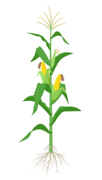 Best Corn Stalk And Roots Illustrations Roots Illustration Maize Plant Flower Art
