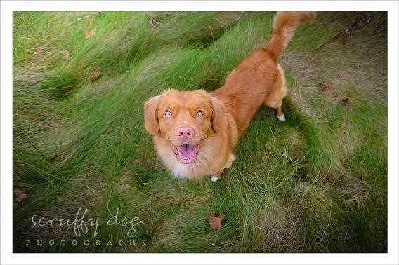Dog Photography Nova Scotia Duck Toller Morleigh 67 In 2020