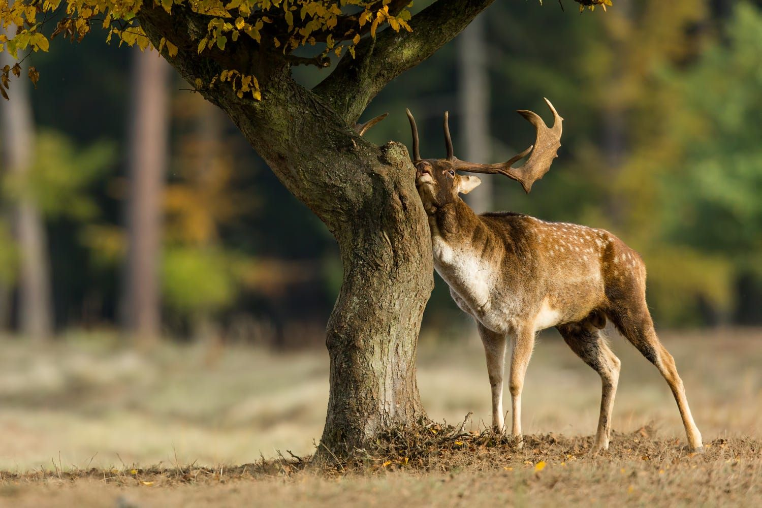 Fallow Deer; My favorite tree, just for me by Björn Reibert on 500px