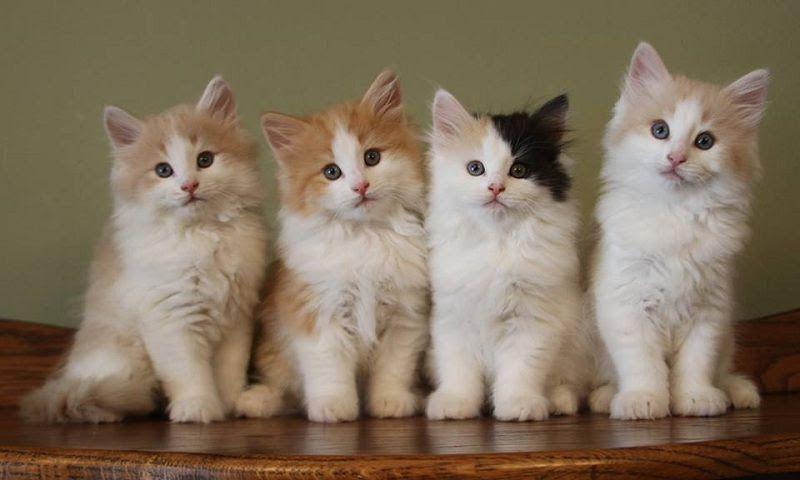 Norwegian Forest Kittens For Sale Norwegian Forest Kittens Norwegian Forest Cat Price Norwegian Forest Cat