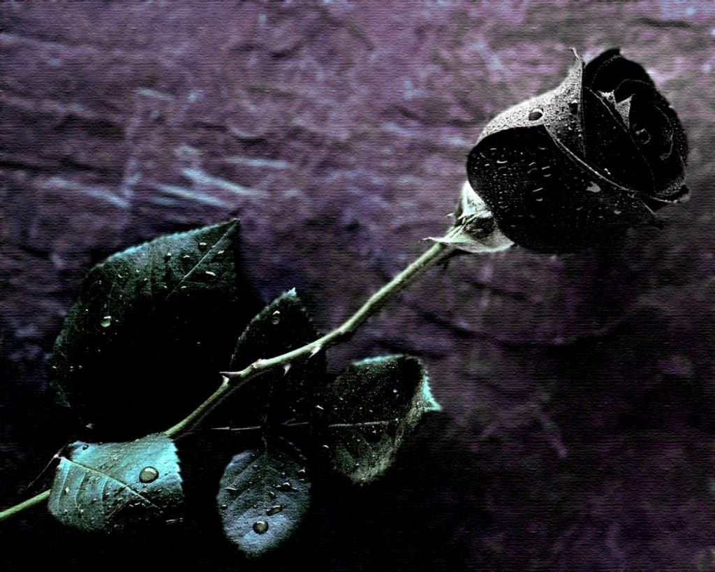 Black Rose Single HD pictures Black Rose Wallpapers By