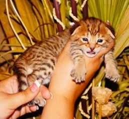 Savannah Cats For Sale Savannah Kittens For Sale