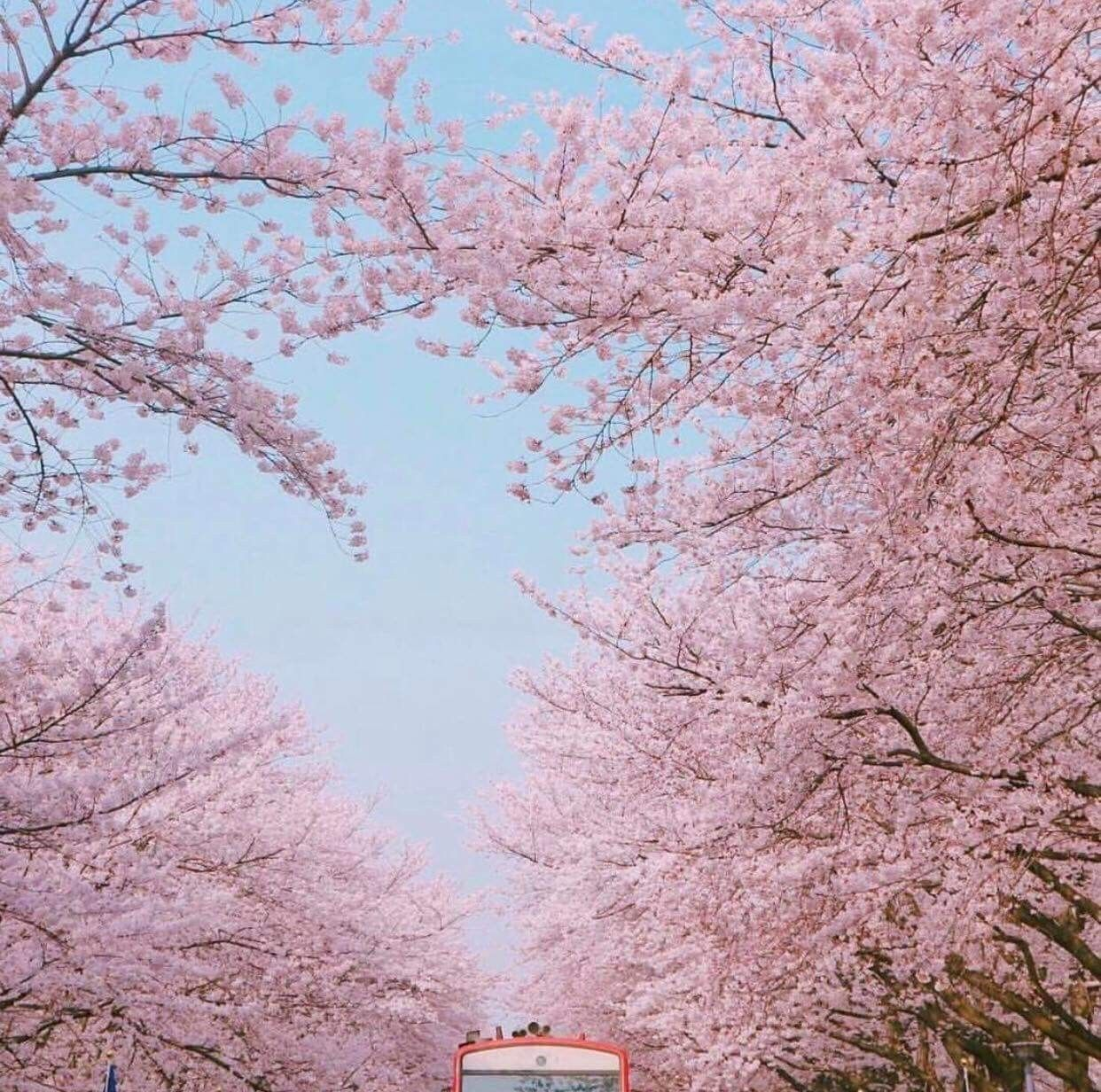 Cherry Blossoms In Dc Maybe Some Survived Aesthetic Pictures Pastel Aesthetic Nature