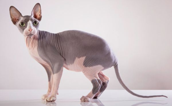 Chat Sphynx Tout Sur La Race De Chat Sphynx Katzen Rassen Katzenarten Haarlose Katzen