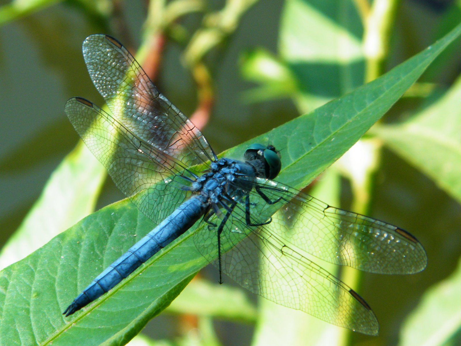 Blue Dragonfly Macro HD Wide Wallpaper for Widescreen Inscects uk