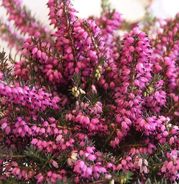 Amazon Com Kramer S Red Winter Heather Erica Hardy 4 Pot Garden Outdoor Heather Flower Heather Plant Growing Winter Vegetables