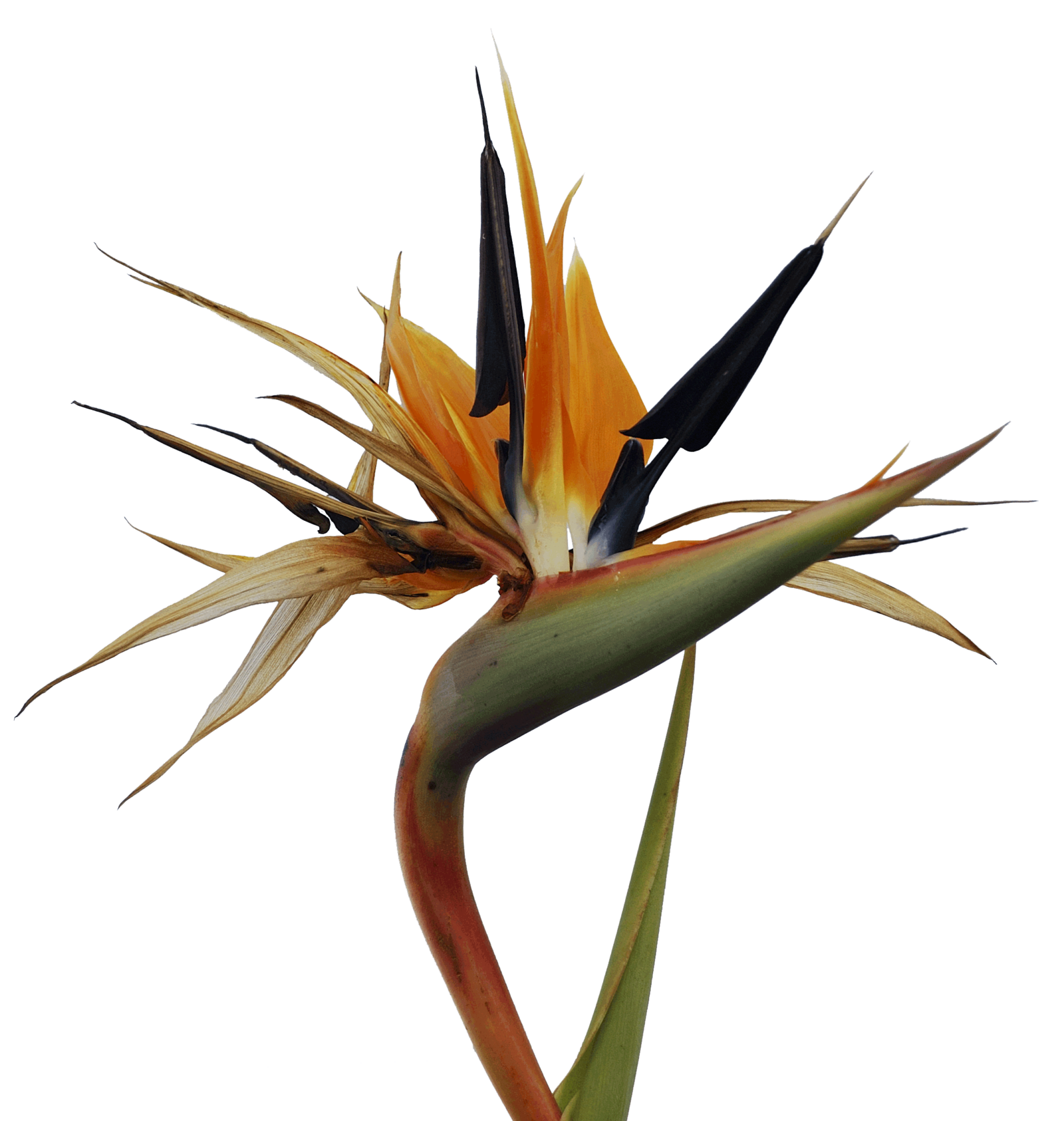 Tropical Bird Of Paradise Tattoo Design Bird Of Paradise Tattoo Tropical Flower Tattoos Paradise Tattoo