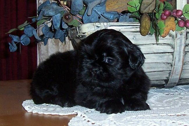 Solid Black Shih Tzu Puppies For Sale Zoe Fans Blog Shih Tzu