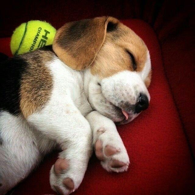 Beagle Fun cutedogsofinstagram cutepuppies