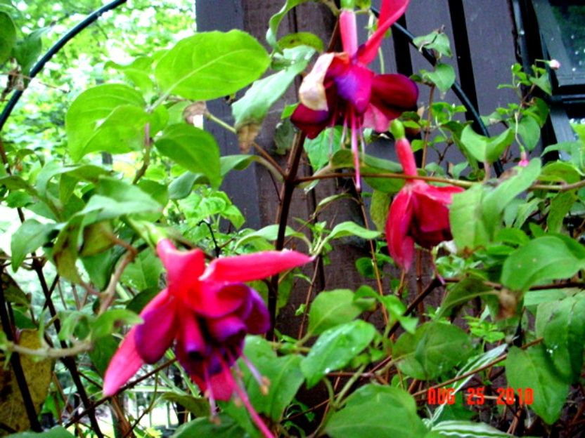 Fuchsia Voodoo Plant Plants Zone 9 Gardening Garden