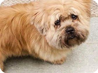 Sayreville Nj Shih Tzu Chow Chow Mix Meet Hunky A Dog For Adoption Dog Adoption Pets Kitten Adoption