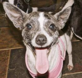 Minnie Pearl Is An Adoptable Rat Terrier Dog In Raleigh Nc This