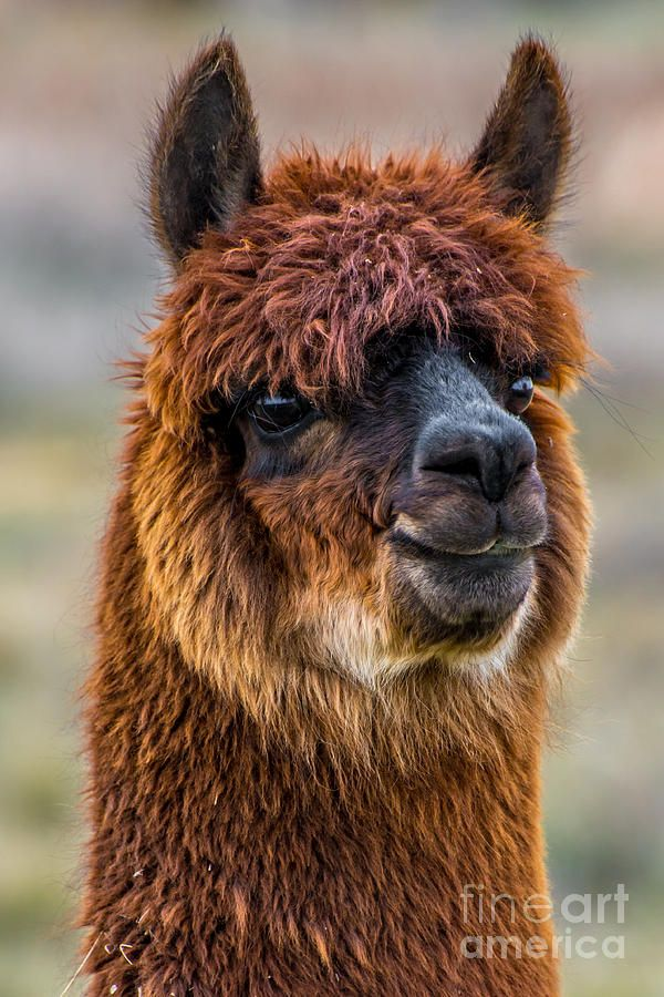 Alpaca Closeup on Utah Farm by Gary Whitton Nursery
