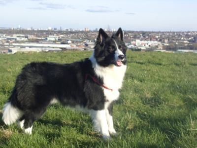 My Favourite Dog A Gorgeous Long Haired Border Collie Like My