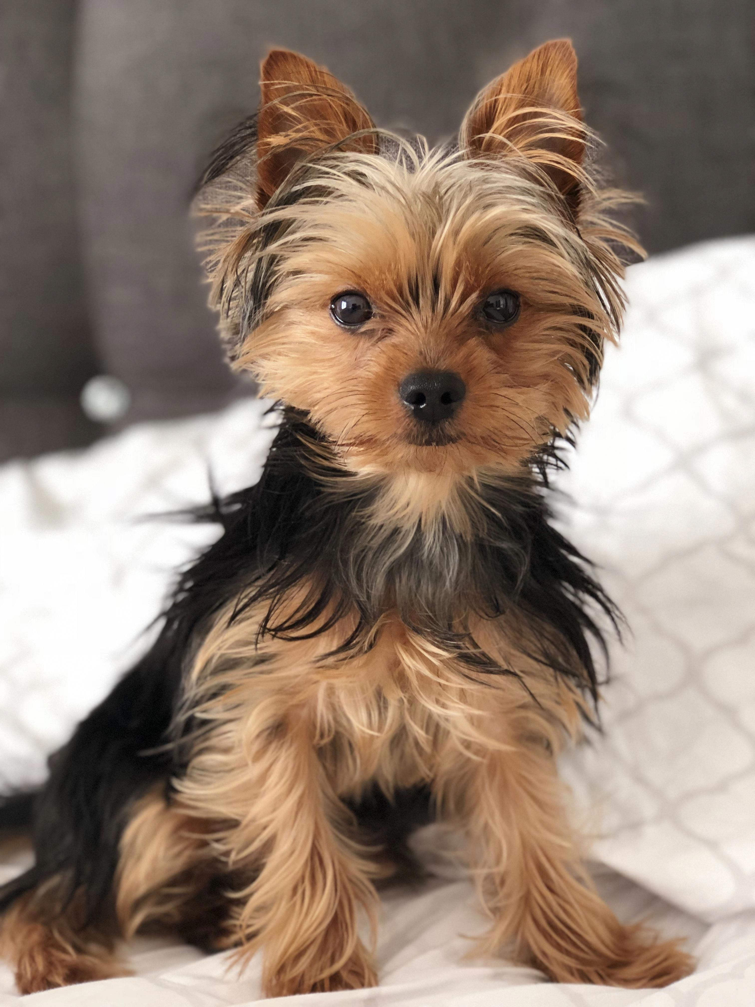 Yorkshire Terrier Energetic And Affectionate Yorkshire Terrier Puppies Yorkshire Terrier Yorkshire Terrier Dog