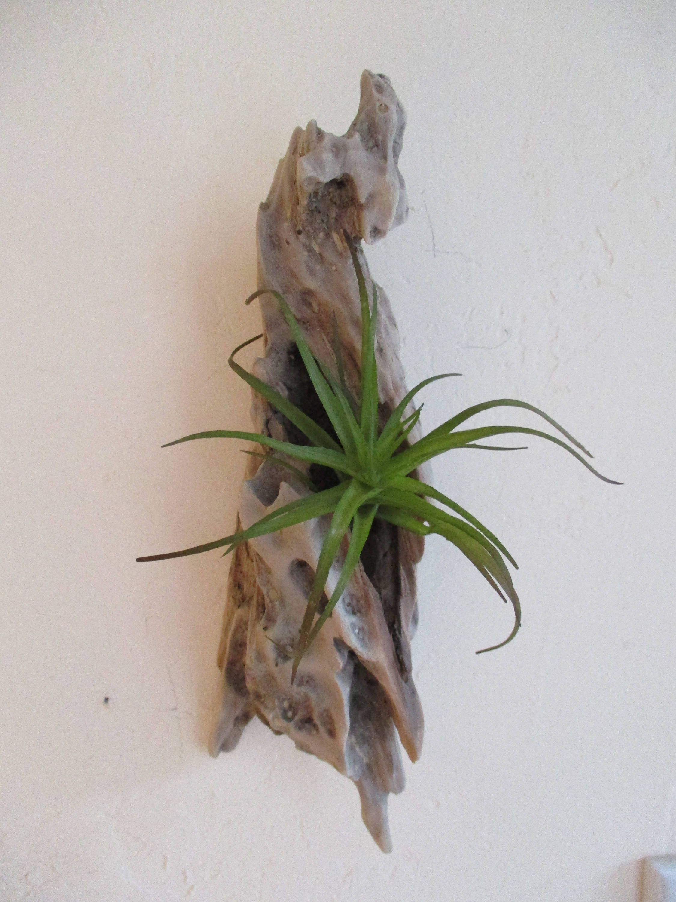 Air Plant Wall Holder Free Shipping Driftwood Air Plant Wall Holder Unique
