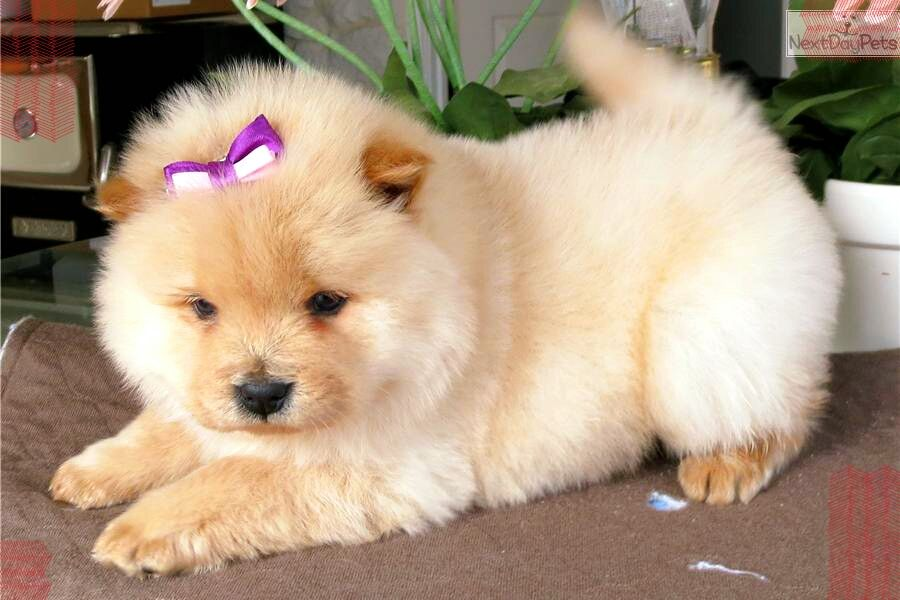 Chow Chow Puppies Are Born With A Pink Tongue It Doesn T Darken