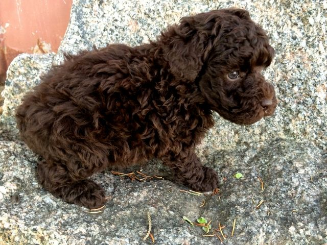 chocolate toy poodle puppy - Google Search | Fur-babies ...