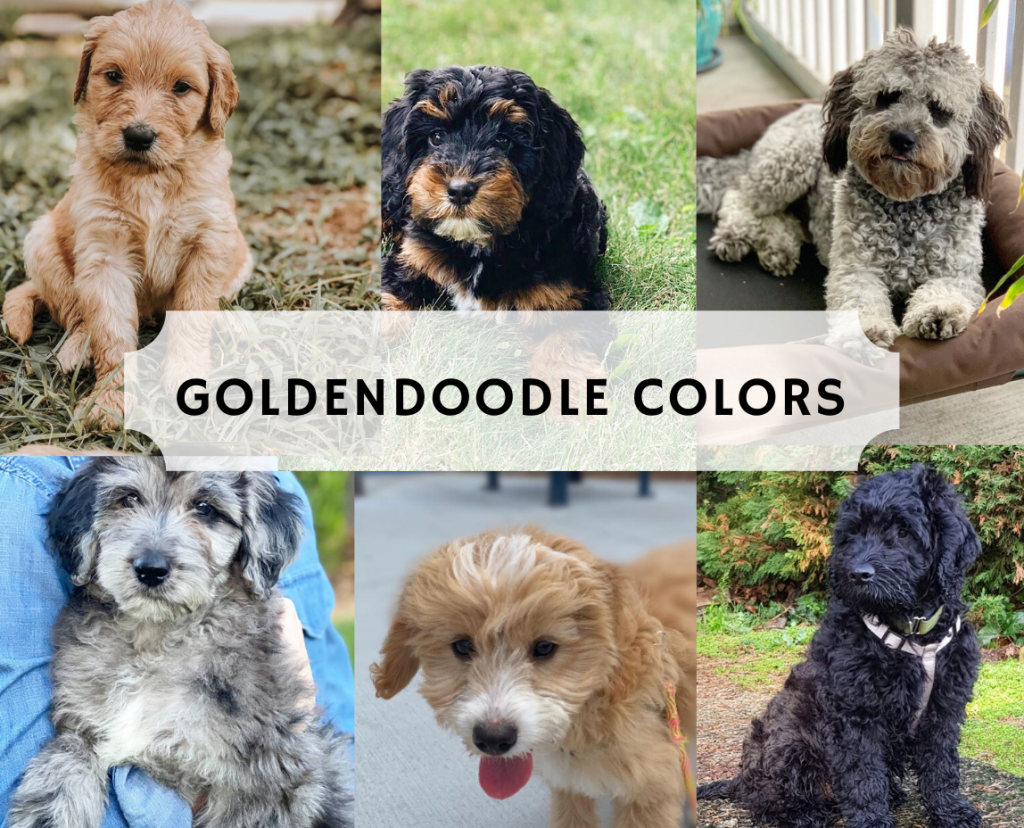 Types of Goldendoodle Colors in 2020 Goldendoodle, White