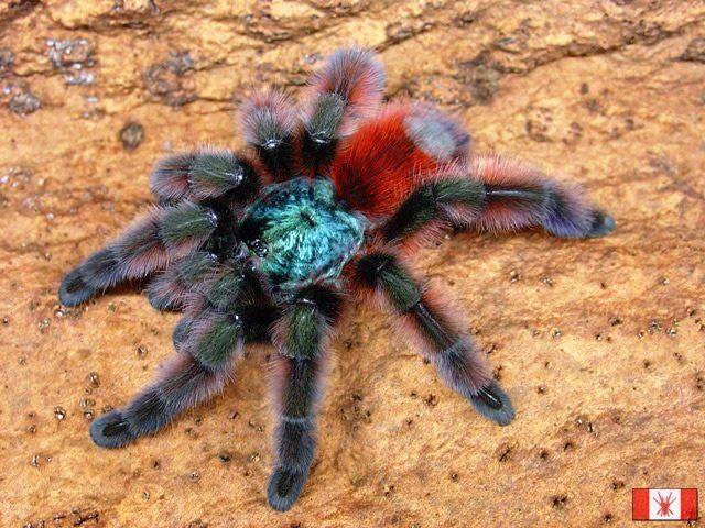 For Sale South Bay San Diego Native Tarantulas Pet Tarantula Tarantula Spider