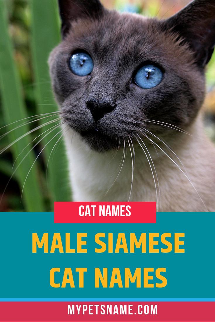 Male Siamese Cat Names Cat Names Cute Cat Names Kitten Names