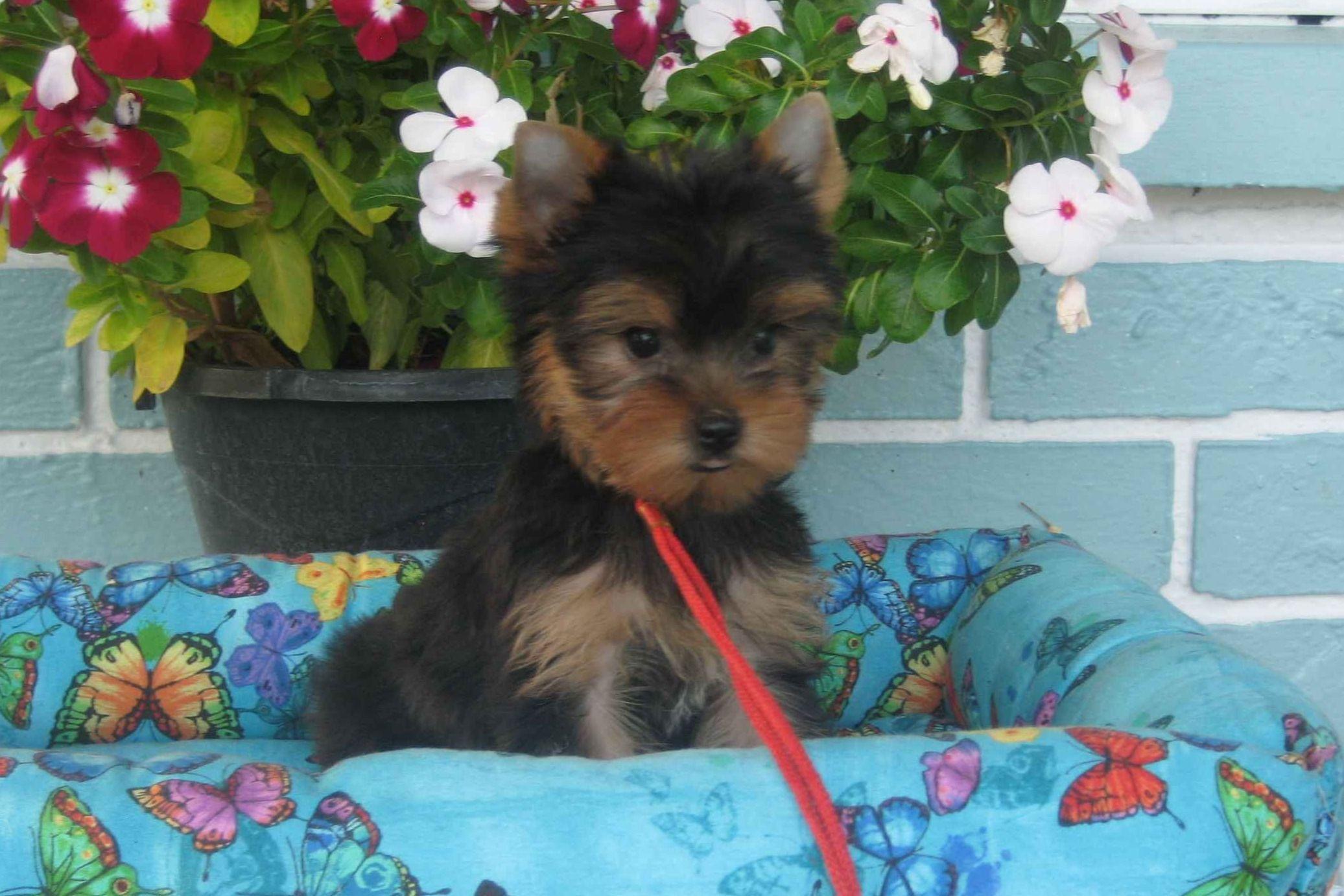 Karen Bordelon Has Yorkshire Terrier Puppies For Sale In Pinellas Park Fl On Akc Puppyfinder Puppies For Sale Yorkshire Terrier Puppies Yorkshire Terrier