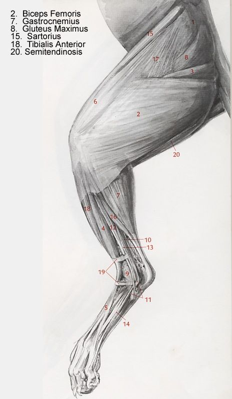 Muscles of the Cat Leg … | Pinteres…