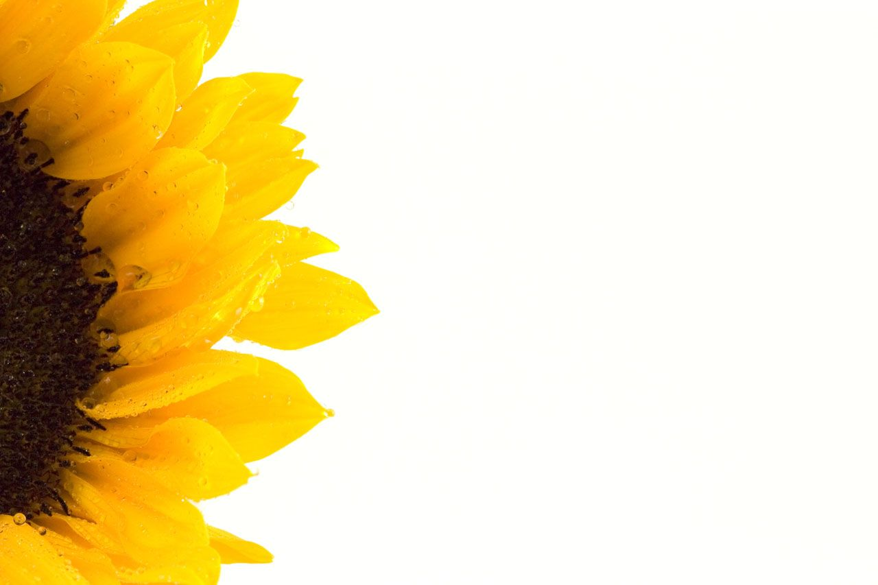 Sunflower Sunflower Free Stock Photo Hd Public Domain Pictures