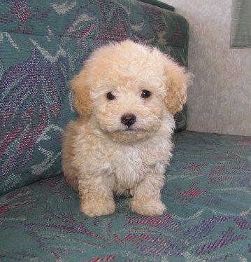 apricot teacup poodle. adorable! | Puppy | Poodle, Puppies ...  apricot teacup ...