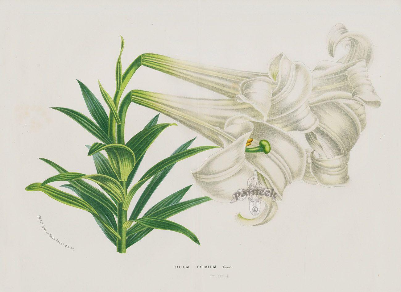 Lilium Eximium from Antique Flower Prints of Clematis, Gloxinia, Peony, Hydrangea