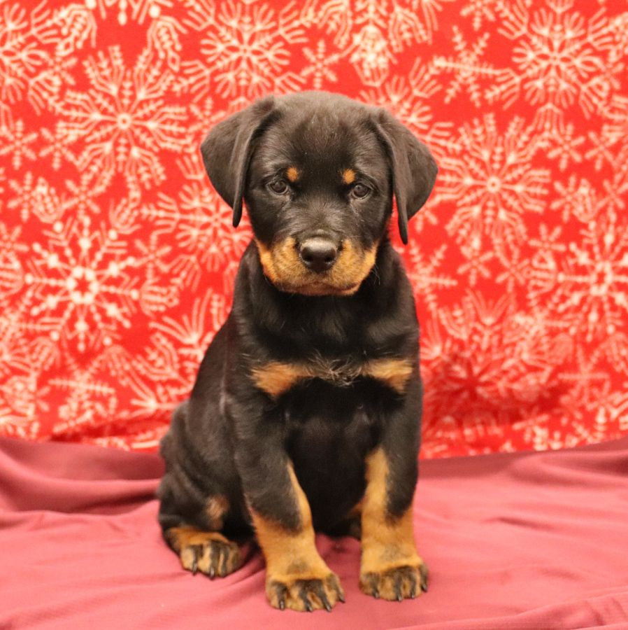 Snuggly Rottweiler In 2020 With Images Puppies Dog Breeder
